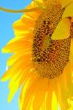 Flor y abejorro del girasol Fotografía de archivo