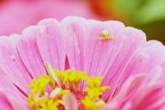 Flor y araña rosadas imagen de archivo libre de regalías