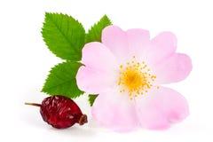 Flor y baya del escaramujo con la hoja aislada en el fondo blanco Imagen de archivo libre de regalías