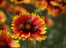 Flor y bees2 imagen de archivo libre de regalías