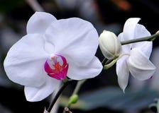 Flor y brote blancos de la orquídea Fotografía de archivo