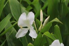 Flor y brote, jengibre de la mariposa, lirio de la mariposa, Garland Flower de Ginger Lily Imagenes de archivo
