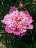 Flor y brote rosados de la peonía fotos de archivo