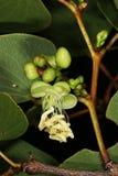 Flor y brotes de flor del árbol de Mopane (mopane de Colophospermum) Fotos de archivo