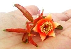 Flor y brotes de la granada Fotografía de archivo libre de regalías