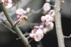 Flor y bulbo del ciruelo que florecen dentro de un día frío Foto de archivo