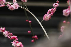 Flor y bulbo del ciruelo que florecen dentro de un día frío Foto de archivo libre de regalías