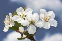 Flor y cielo del cerezo Fotografía de archivo