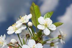 Flor y cielo del cerezo Imagen de archivo libre de regalías