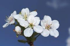 Flor y cielo del cerezo Fotografía de archivo libre de regalías