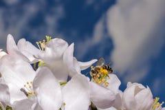 Flor y cielo del manzano Fotos de archivo libres de regalías