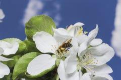 Flor y cielo del manzano Fotografía de archivo