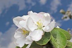Flor y cielo del manzano Imagenes de archivo