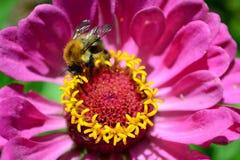 Flor y el abejorro Imagen de archivo libre de regalías