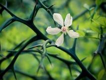 Flor y espinas Fotografía de archivo