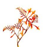 Flor y follaje de Crocosmia Montbretia Masonorum Foto de archivo libre de regalías
