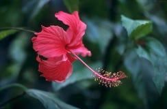 Flor y follaje rojos del hibisco Foto de archivo libre de regalías