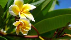 Flor y flor hermosos del plumeria en el árbol del frangipani almacen de metraje de vídeo