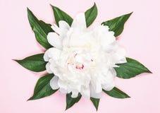 Flor y hojas blancas de la peonía en fondo del rosa en colores pastel Endecha plana Fotografía de archivo libre de regalías