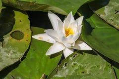 Flor y hojas de loto blanco en el lago de skadar en Montenegro fotografía de archivo