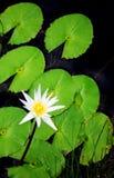 Flor y hojas del lirio de agua Foto de archivo libre de regalías