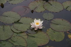 Flor y hojas del lirio de agua blanca en una charca Imagenes de archivo