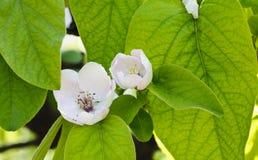 Flor y hojas Ficus Carica del árbol de higo Foto de archivo libre de regalías