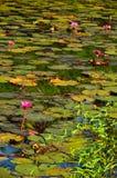 Flor y hojas rojas de loto en agua. Imagen de archivo libre de regalías