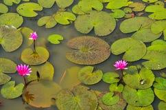 Flor y hojas rojas de loto en agua. Imagenes de archivo