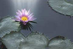 Flor y luz de loto púrpura que brillan imagen de archivo libre de regalías