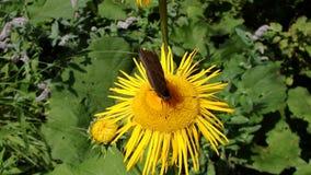 Flor y mariposa amarillas, helenio de la flor, almacen de metraje de vídeo