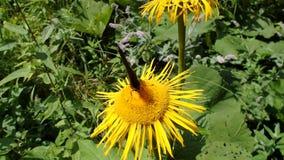 Flor y mariposa amarillas, helenio de la flor, almacen de video