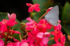 Flor y mariposa de Ixora Foto de archivo