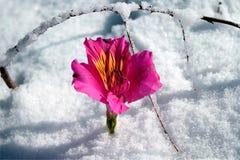 Flor y nieve Fotos de archivo libres de regalías