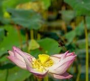 Flor y plantas de Lotus Fotografía de archivo libre de regalías