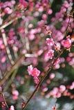 Flor y rama blancos del ciruelo Imágenes de archivo libres de regalías