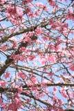 Flor y rama blancos del ciruelo Fotos de archivo