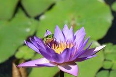 Flor y rana del lirio de agua Foto de archivo