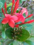 Flor y it& rojos x27; brote de s Foto de archivo