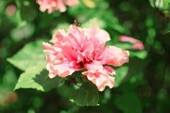 Flor y sol rosadas hermosas Fotos de archivo libres de regalías