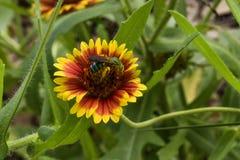 Flor y una abeja Fotos de archivo libres de regalías