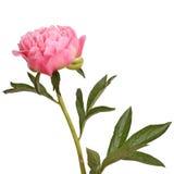 Flor y vástago rosados del peony fotografía de archivo