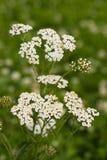 Flor Yarrow On Field Meadow Imagen de archivo libre de regalías