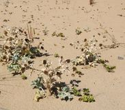Flora à la plage de l'Océan Atlantique photo stock