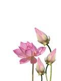 Flora acquatica del loto Fotografia Stock