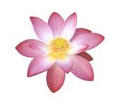 Flora acquatica del loto isolata su bianco fotografia stock