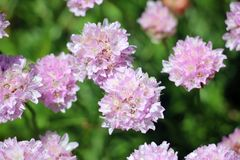 Flora alpina Fotografie Stock Libere da Diritti