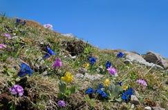 Flora alpina con la genziana blu, la primaverina rosa e le auricole Fotografie Stock