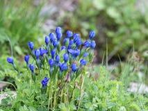 Flora alpina - genciana de la nieve Imágenes de archivo libres de regalías