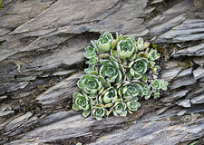 Flora alpina - houseleek común Foto de archivo